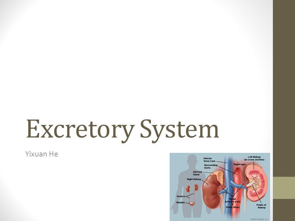 Excretory System Yixuan He