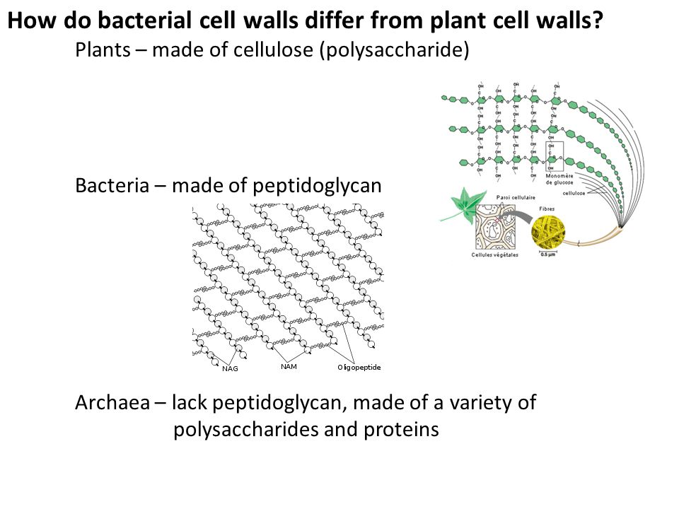 How do bacterial cell walls differ from plant cell walls? Plants – made of cellulose (polysaccharide) Bacteria – made of peptidoglycan Archaea – lack