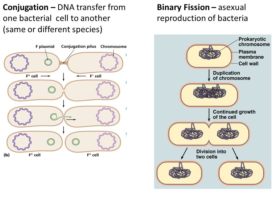 Conjugation – DNA transfer from one bacterial cell to another (same or different species) Binary Fission – asexual reproduction of bacteria