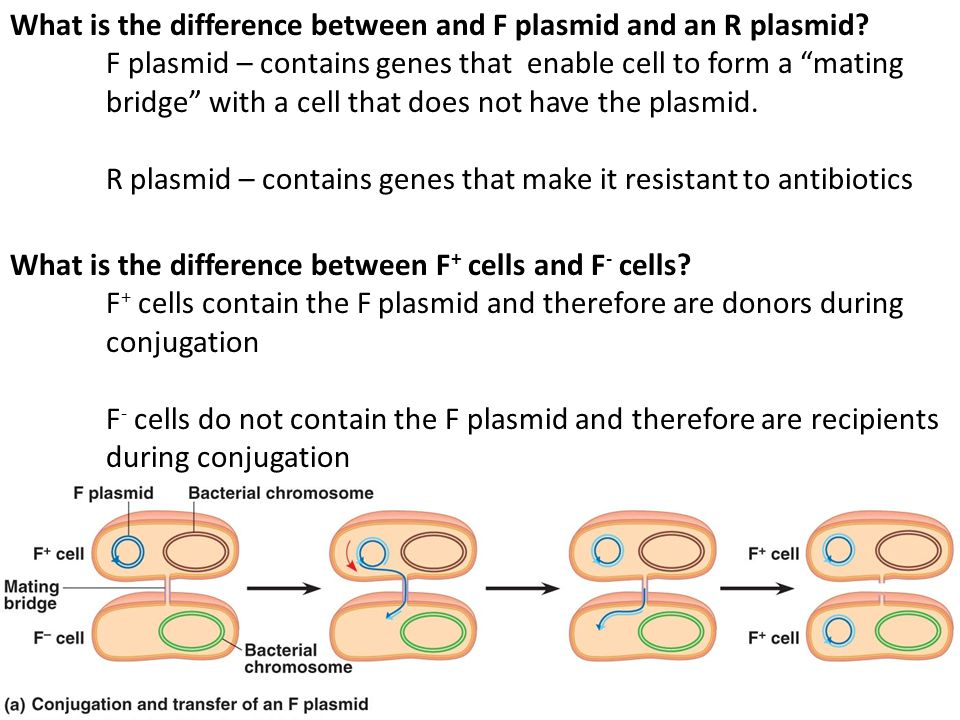 """What is the difference between and F plasmid and an R plasmid? F plasmid – contains genes that enable cell to form a """"mating bridge"""" with a cell that"""