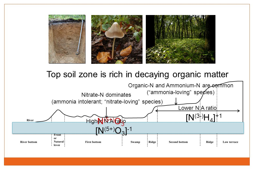 """Top soil zone is rich in decaying organic matter [N (3-) H 4 ] +1 Nitrate-N dominates (ammonia intolerant; """"nitrate-loving"""" species) Organic-N and Amm"""
