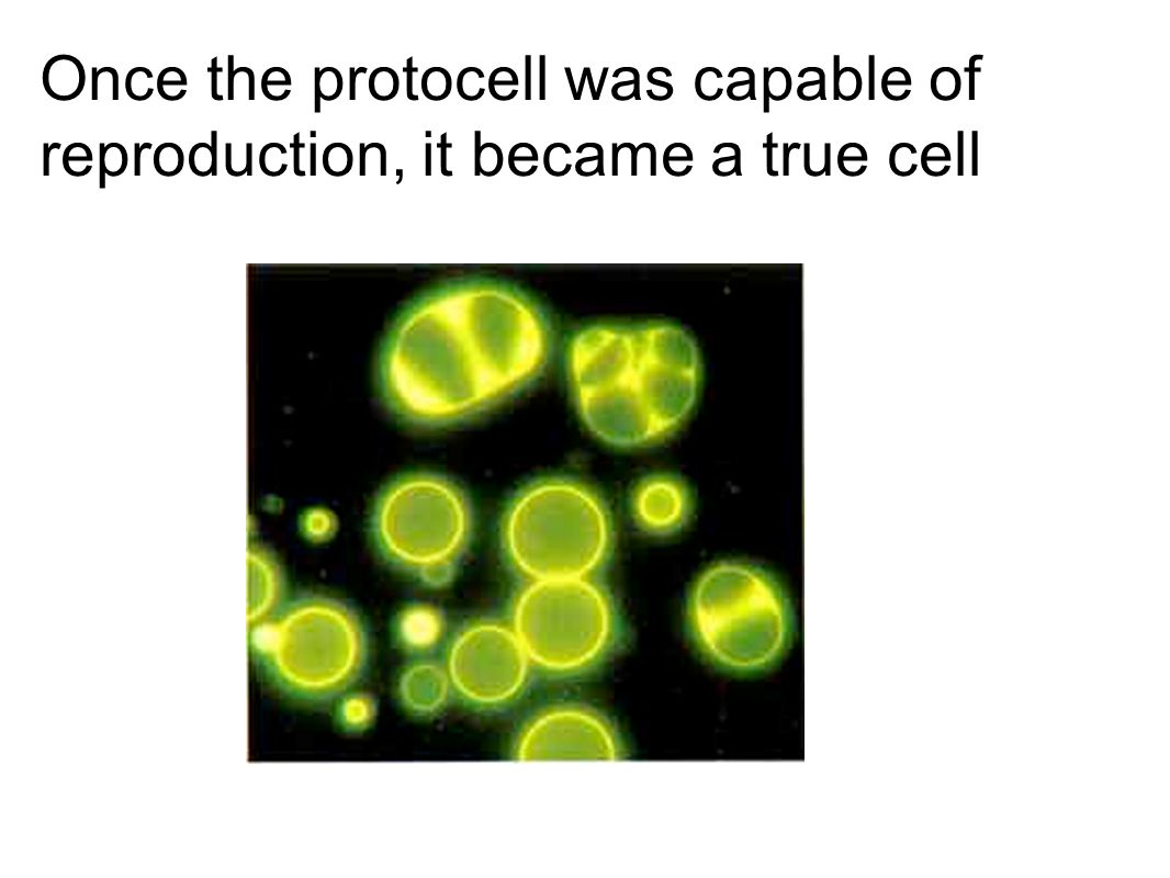 Once the protocell was capable of reproduction, it became a true cell
