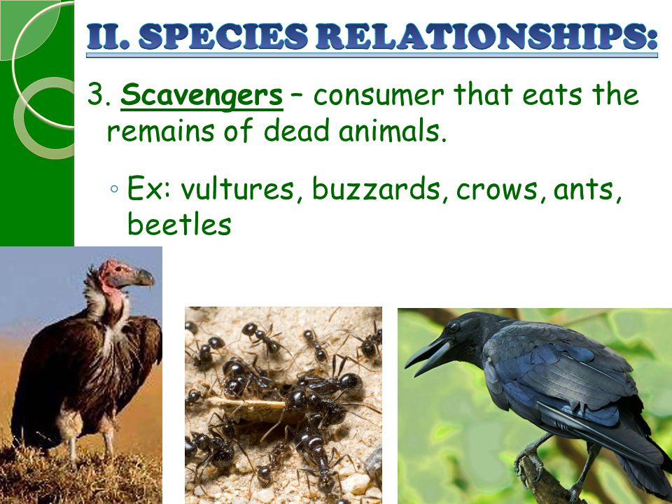 3. Scavengers – consumer that eats the remains of dead animals. ◦ Ex: vultures, buzzards, crows, ants, beetles