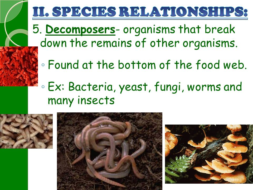 5. Decomposers- organisms that break down the remains of other organisms. ◦ Found at the bottom of the food web. ◦ Ex: Bacteria, yeast, fungi, worms a