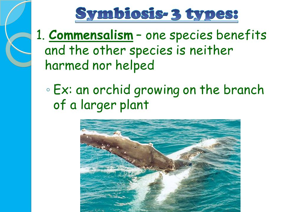 1. Commensalism – one species benefits and the other species is neither harmed nor helped ◦ Ex: an orchid growing on the branch of a larger plant
