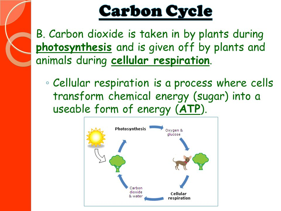 B. Carbon dioxide is taken in by plants during photosynthesis and is given off by plants and animals during cellular respiration. ◦ Cellular respirati