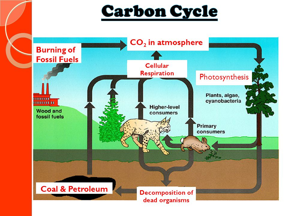 Burning of Fossil Fuels Cellular Respiration CO 2 in atmosphere Photosynthesis Coal & Petroleum Decomposition of dead organisms