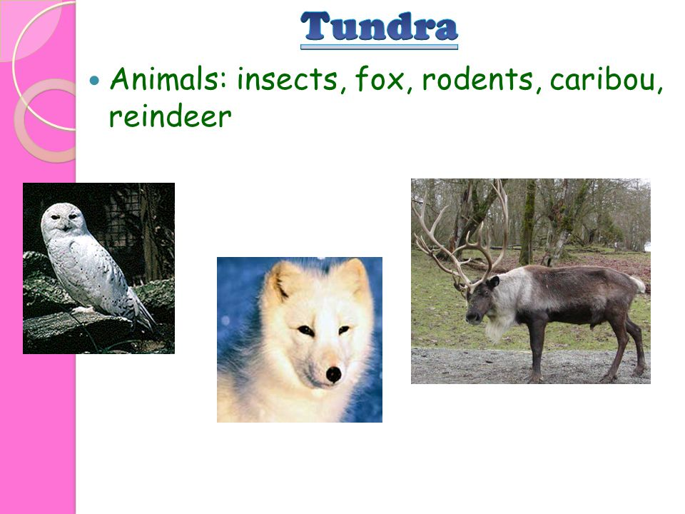 Animals: insects, fox, rodents, caribou, reindeer