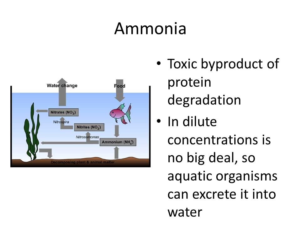 Ammonia Toxic byproduct of protein degradation In dilute concentrations is no big deal, so aquatic organisms can excrete it into water