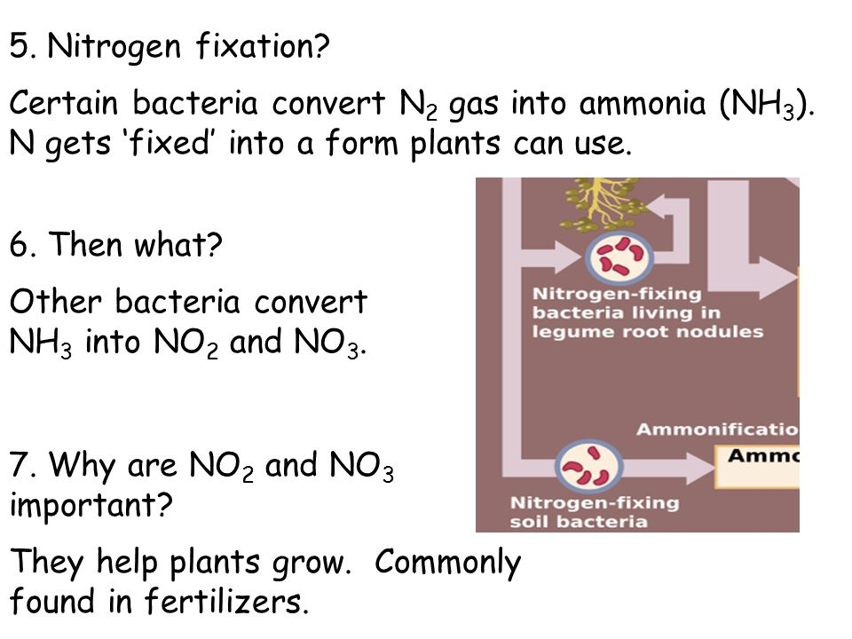 5. Nitrogen fixation? Certain bacteria convert N 2 gas into ammonia (NH 3 ). N gets 'fixed' into a form plants can use. 6. Then what? Other bacteria c