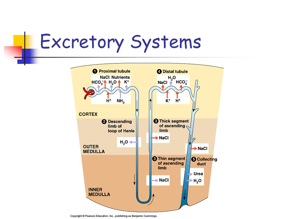 Excretory Systems