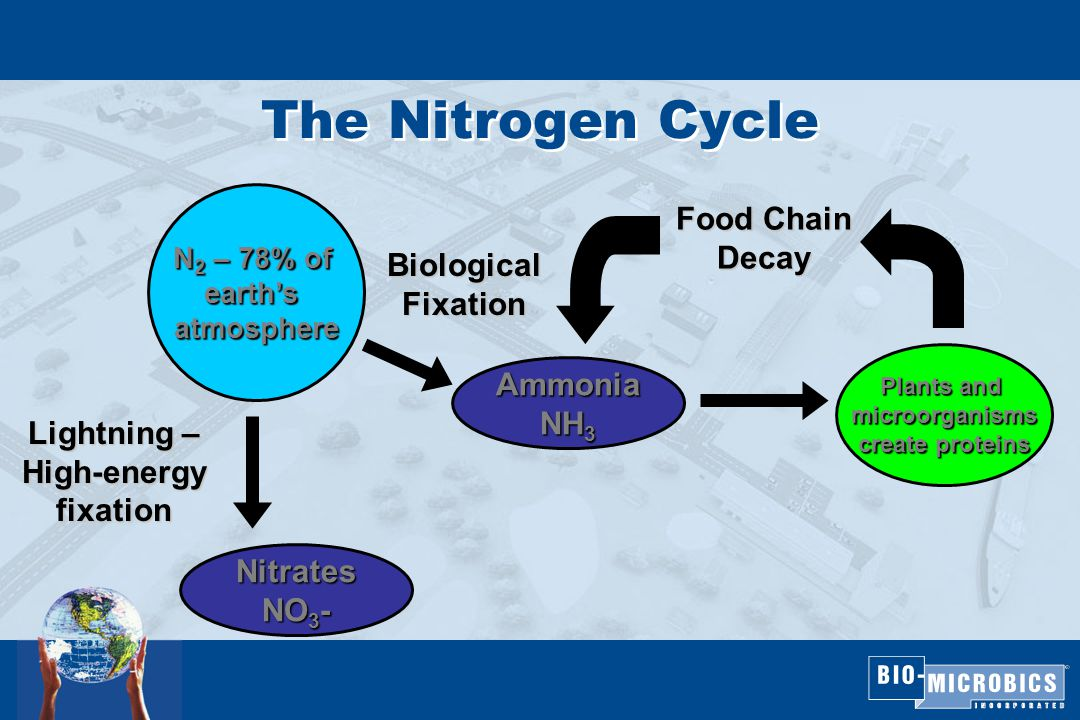 The Nitrogen Cycle N 2 – 78% of earth's atmosphere BiologicalFixation Lightning – High-energy fixation Nitrates NO 3 - Ammonia NH 3 Plants and microorganisms create proteins Food Chain Decay