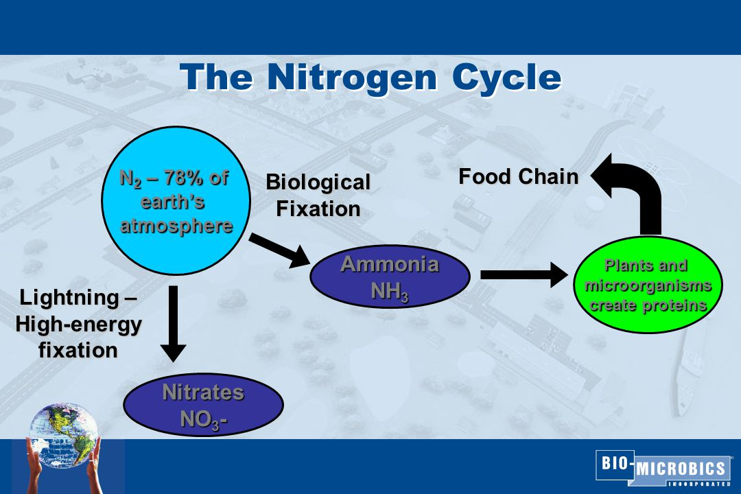 The Nitrogen Cycle N 2 – 78% of earth's atmosphere BiologicalFixation Lightning – High-energy fixation Nitrates NO 3 - Ammonia NH 3 Plants and microorganisms create proteins Food Chain