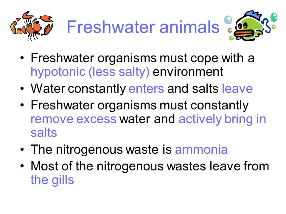 Freshwater animals Freshwater organisms must cope with a hypotonic (less salty) environment Water constantly enters and salts leave Freshwater organisms must constantly remove excess water and actively bring in salts The nitrogenous waste is ammonia Most of the nitrogenous wastes leave from the gills