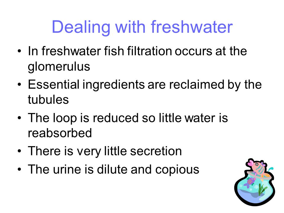 Dealing with freshwater In freshwater fish filtration occurs at the glomerulus Essential ingredients are reclaimed by the tubules The loop is reduced so little water is reabsorbed There is very little secretion The urine is dilute and copious