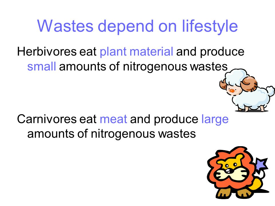 Wastes depend on lifestyle Herbivores eat plant material and produce small amounts of nitrogenous wastes Carnivores eat meat and produce large amounts of nitrogenous wastes