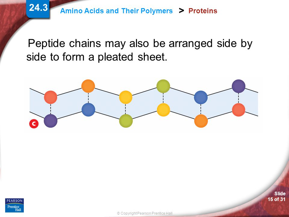 Slide 15 of 31 © Copyright Pearson Prentice Hall 24.3 Amino Acids and Their Polymers > Proteins Peptide chains may also be arranged side by side to fo