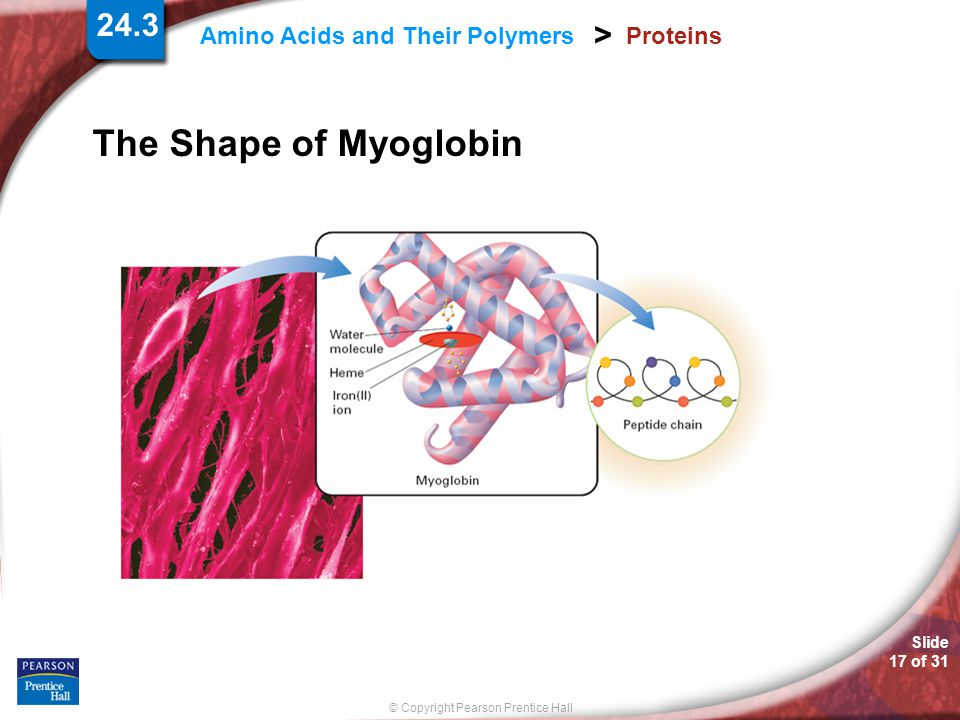 Slide 17 of 31 © Copyright Pearson Prentice Hall 24.3 Amino Acids and Their Polymers > Proteins The Shape of Myoglobin