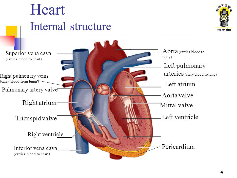 3 Heart Acts like a pump of the circulatory system supplying blood to the whole body Located between the lungs a little to the left; size roughly equal to a fist Made up of muscle with a dual protective layer Two internal sections unconnected to each other Left section contains Oxygen-rich blood received from the lungs Right section contains Oxygen-poor blood to be sent to lungs Each section has two chambers Upper chamber called Atrium; Lower chamber called as Ventricle Atrium and ventricle connected to each other by a one-way valve