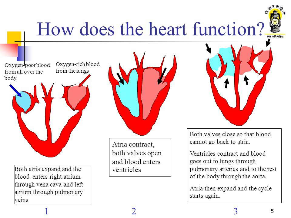 4 Heart Internal structure Left pulmonary arteries (carry blood to lung) Left atrium Aorta valve Mitral valve Left ventricle Pericardium Superior vena cava (carries blood to heart) Pulmonary artery valve Right atrium Right ventricle Inferior vena cava (carries blood to heart) Aorta (carries blood to body) Tricuspid valve Right pulmonary veins (carry blood from lungs)
