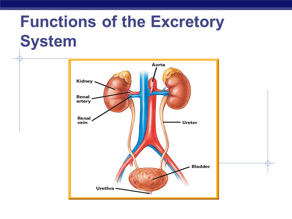 AP Biology 2008-2009 Functions of the Excretory System
