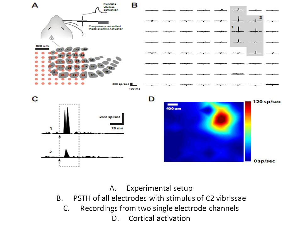 A.Experimental setup B.PSTH of all electrodes with stimulus of C2 vibrissae C.Recordings from two single electrode channels D.Cortical activation
