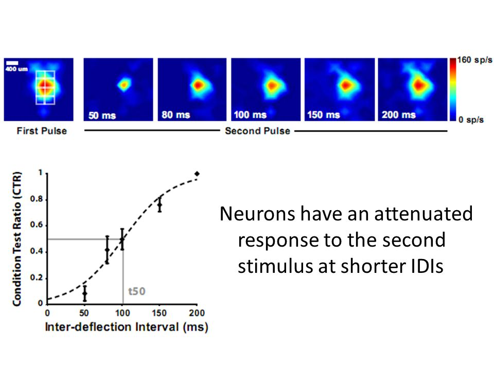 Neurons have an attenuated response to the second stimulus at shorter IDIs