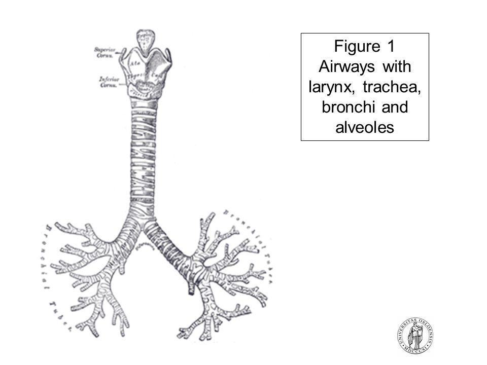 Figure 1 Airways with larynx, trachea, bronchi and alveoles