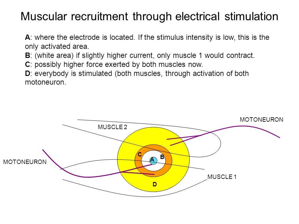 MUSCLE 1 MUSCLE 2 MOTONEURON D B C A A: where the electrode is located.