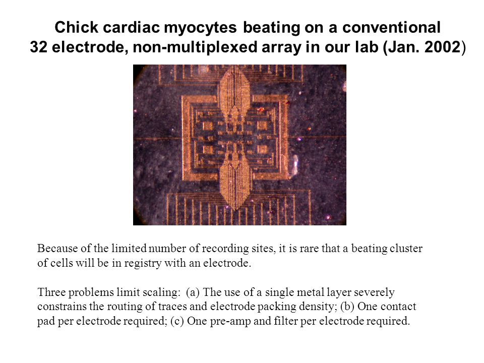 Chick cardiac myocytes beating on a conventional 32 electrode, non-multiplexed array in our lab (Jan.