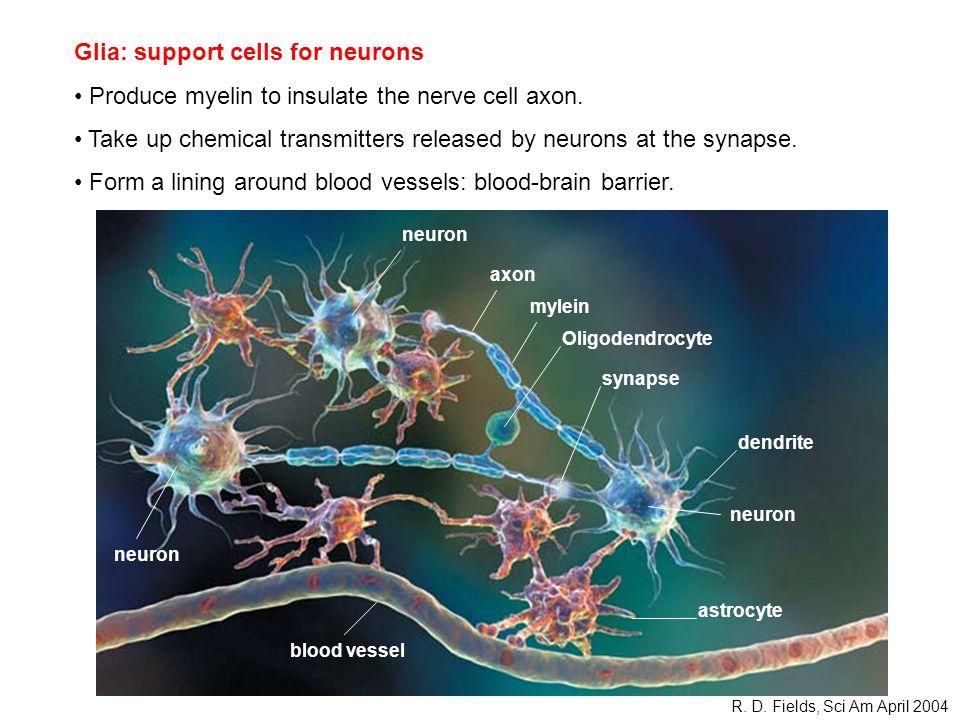 Oligodendrocyte neuron dendrite axon mylein synapse blood vessel astrocyte R.