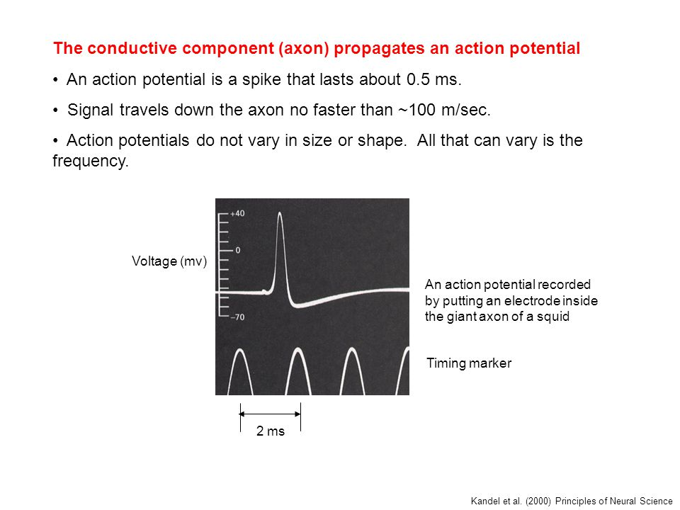 The conductive component (axon) propagates an action potential An action potential is a spike that lasts about 0.5 ms.