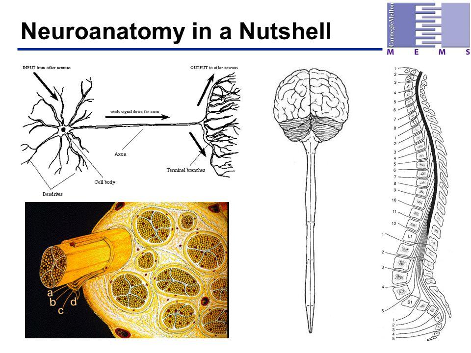 Neuroanatomy in a Nutshell