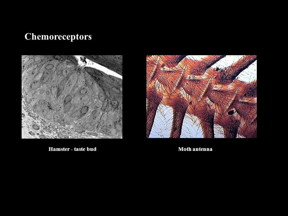 Chemoreceptors Hamster - taste budMoth antenna