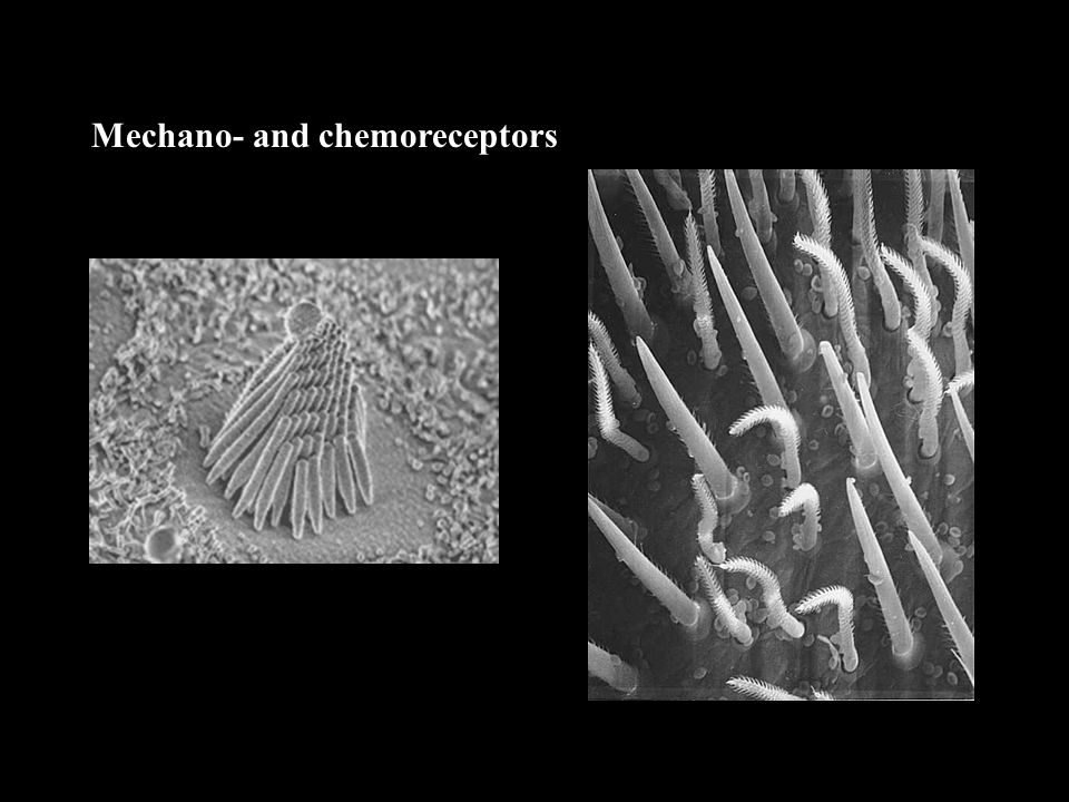 Mechano- and chemoreceptors