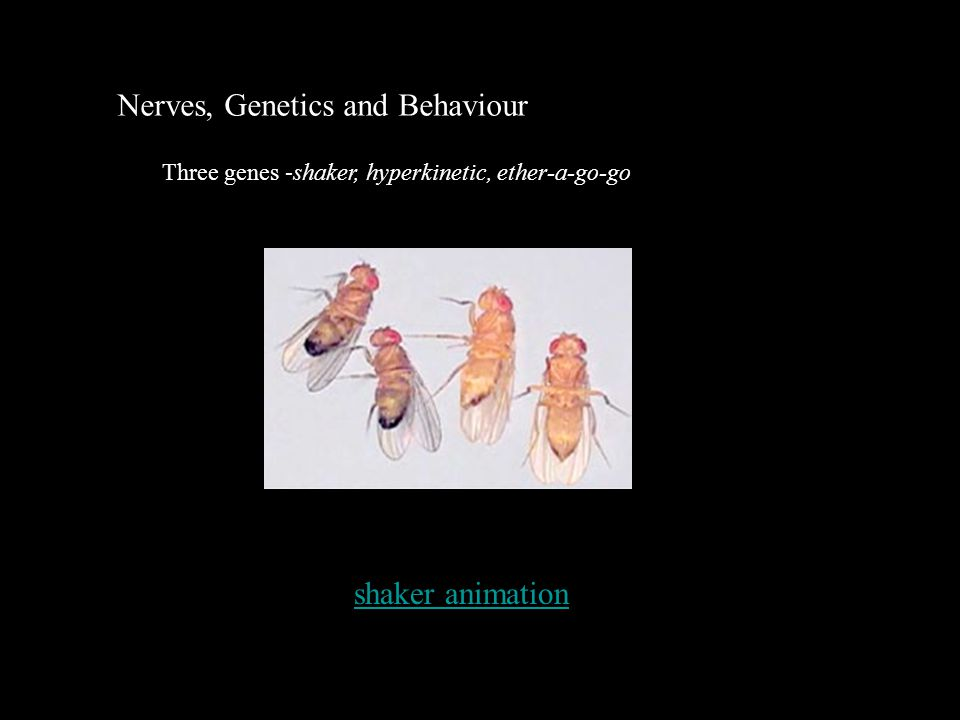Nerves, Genetics and Behaviour shaker animation Three genes -shaker, hyperkinetic, ether-a-go-go