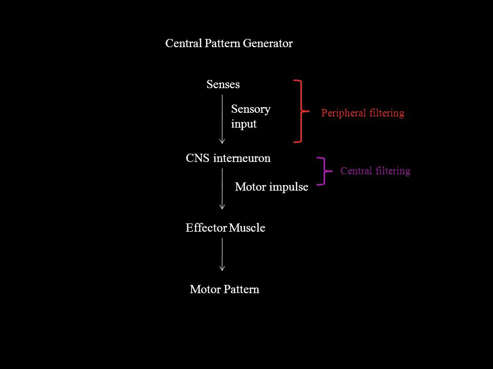 Central Pattern Generator Senses CNS interneuron Effector Muscle Motor Pattern Motor impulse Sensory input Peripheral filtering Central filtering