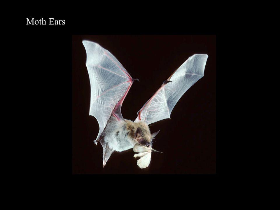 Moth Ears