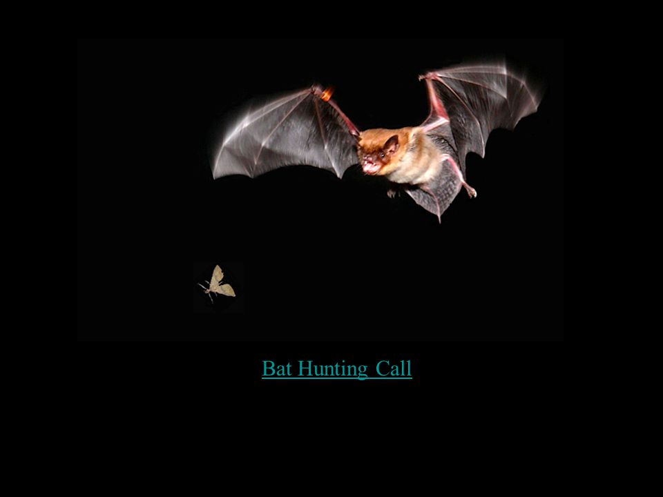 Bat Hunting Call