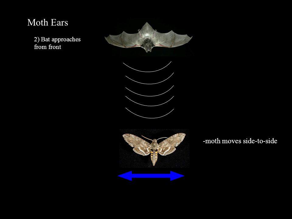 Moth Ears 2) Bat approaches from front -moth moves side-to-side