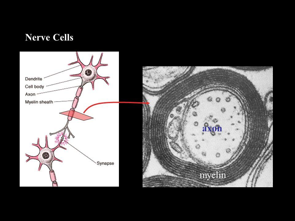 axon myelin