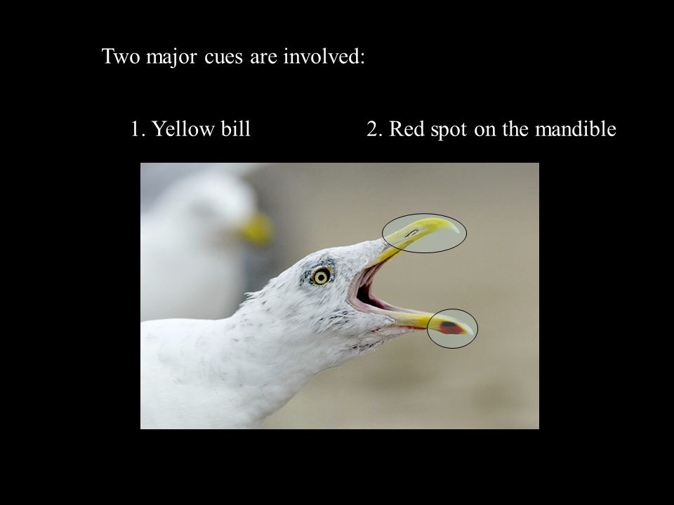 Two major cues are involved: 1. Yellow bill2. Red spot on the mandible