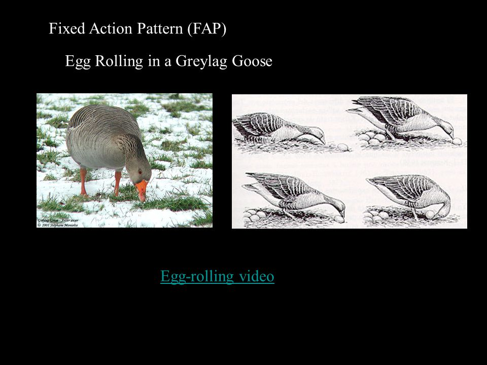 Fixed Action Pattern (FAP) Egg Rolling in a Greylag Goose Egg-rolling video