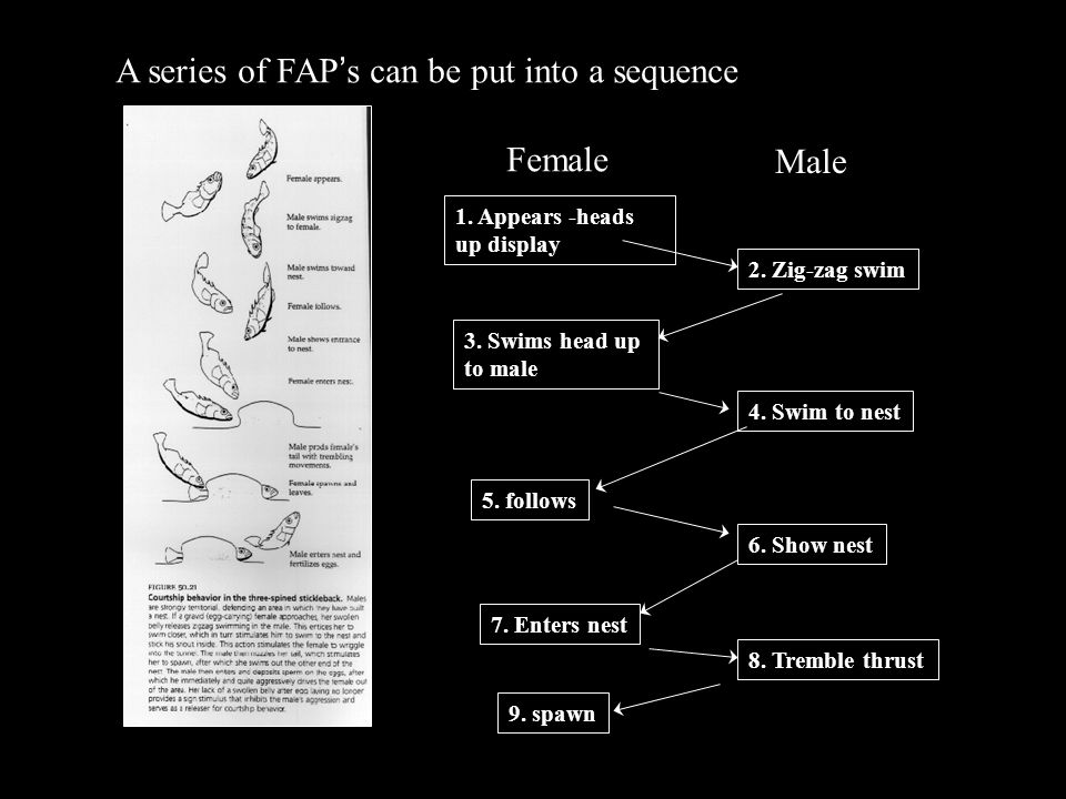 A series of FAP's can be put into a sequence Female Male 1.