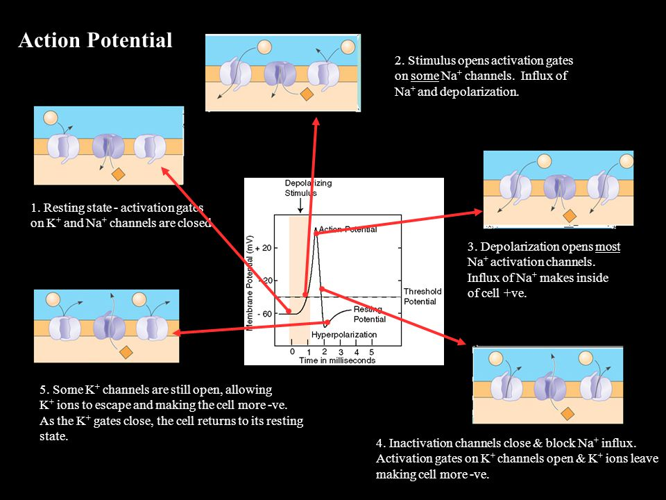 Action Potential 3. Depolarization opens most Na + activation channels.
