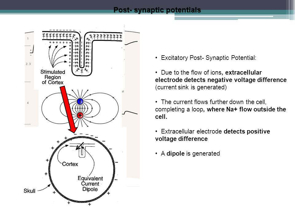 Excitatory Post- Synaptic Potential: Due to the flow of ions, extracellular electrode detects negative voltage difference (current sink is generated)