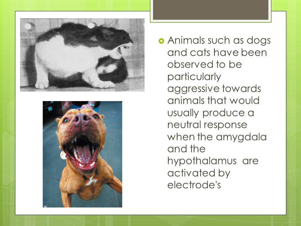  Animals such as dogs and cats have been observed to be particularly aggressive towards animals that would usually produce a neutral response when the amygdala and the hypothalamus are activated by electrode s