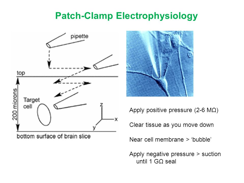 Patch-Clamp Electrophysiology Apply positive pressure (2-6 MΩ) Clear tissue as you move down Near cell membrane > 'bubble' Apply negative pressure > s