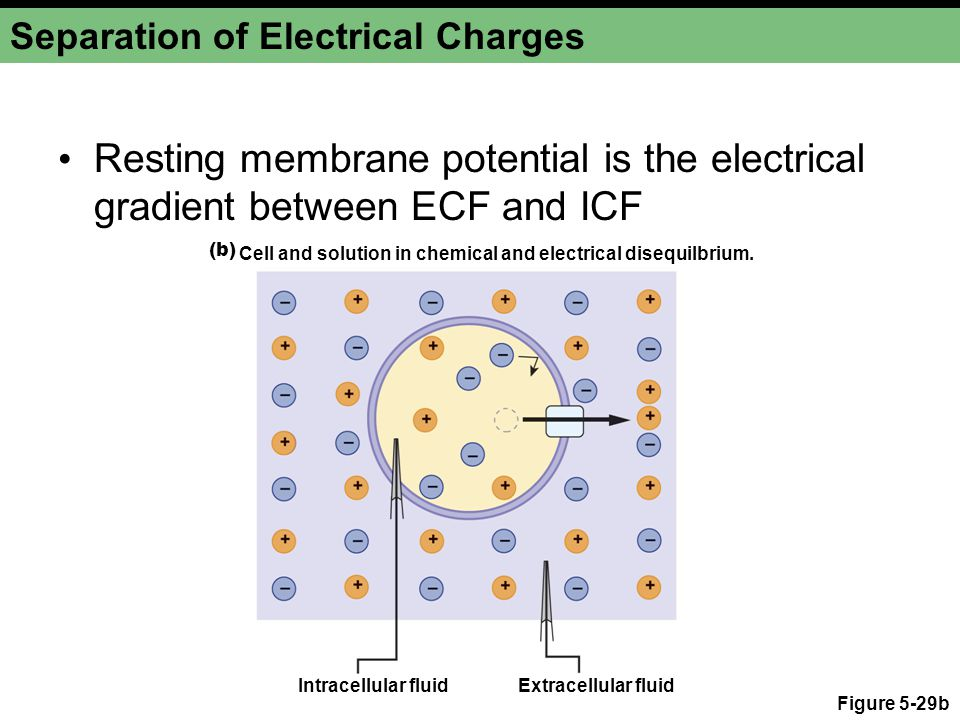 Figure 5-29b Separation of Electrical Charges Resting membrane potential is the electrical gradient between ECF and ICF (b) Cell and solution in chemical and electrical disequilbrium.