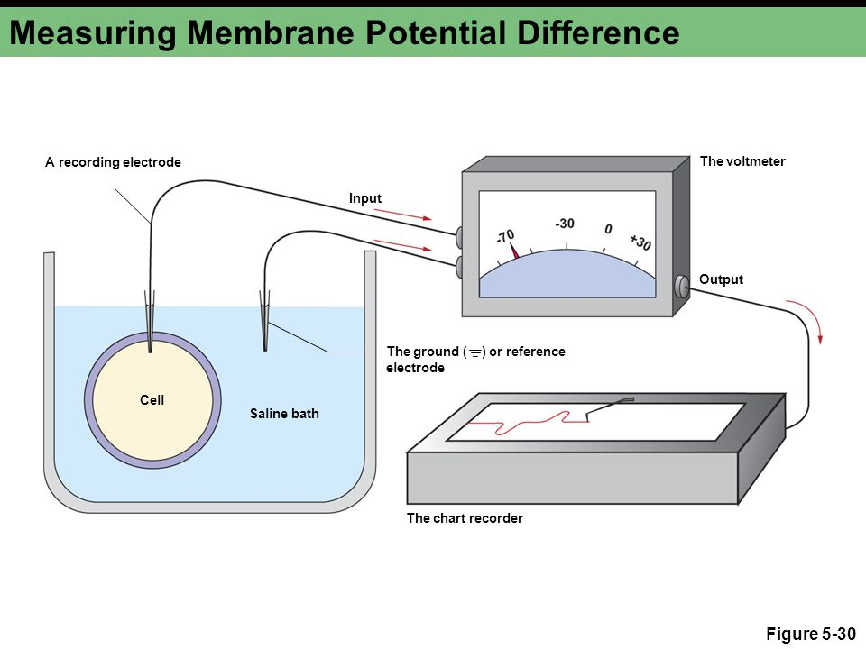 Figure 5-30 Measuring Membrane Potential Difference The voltmeter Cell The chart recorder Saline bath A recording electrode Input The ground ( ) or reference electrode Output